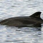 harbour-porpoise-charlie-phillips-wdc