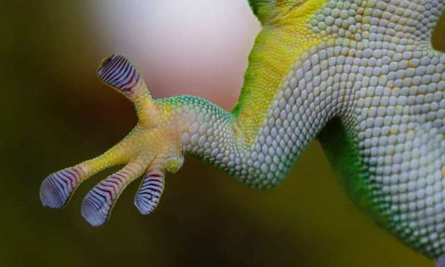 Leopard geckos can make new brain cells