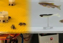 Robots help fish and bees make decisions together