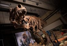Scientists find biggest Tyrannosaurus rex in the world
