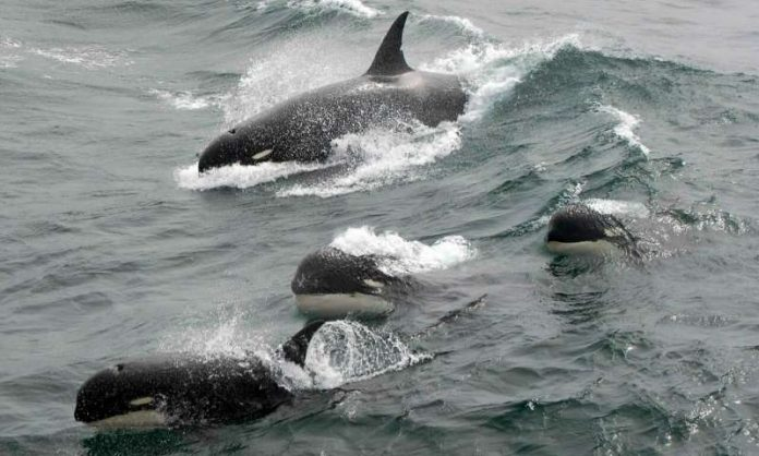 Scientists may discover a new species of killer whale