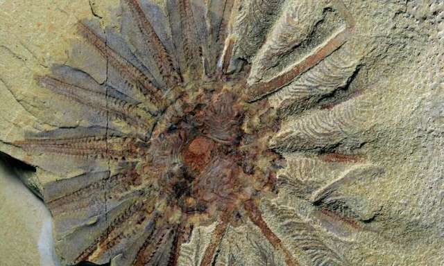 This 520 million-year-old fossil show origins of comb jellies