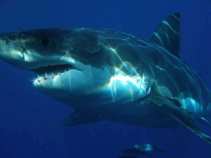 White sharks run away when they see orcas