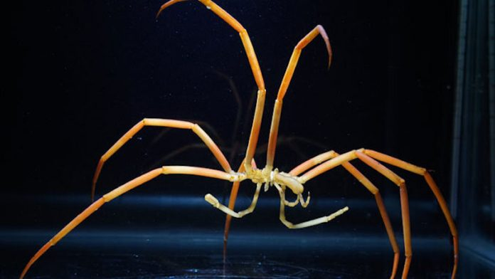 Why spiders in the deep sea are so big