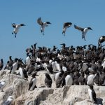 Wind can prevent seabirds accessing their most important habitat